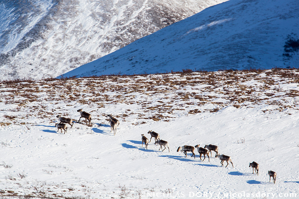 Forty Mile Caribou Herd in the Tombstone mountain range