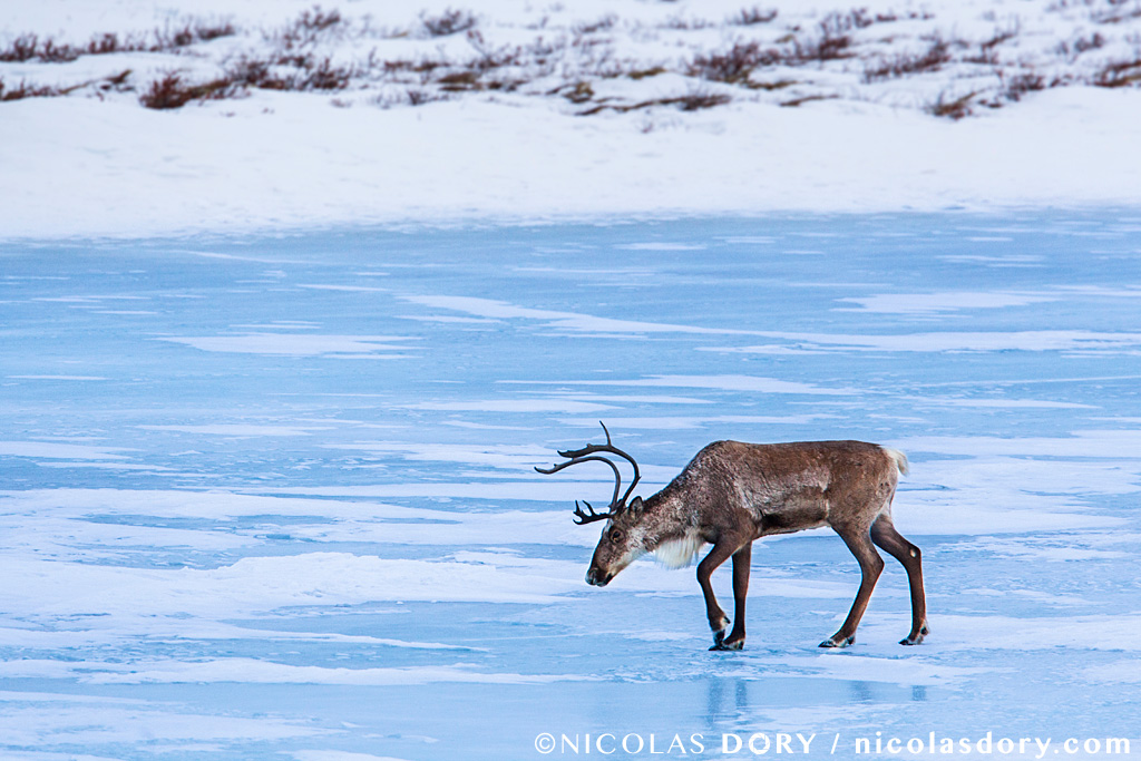 A young bull caribou walking on the blue ice of a frozen lake