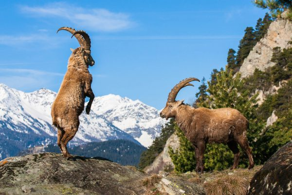 Alpine Ibex bucks fighting (Vanoise, Alps, France)