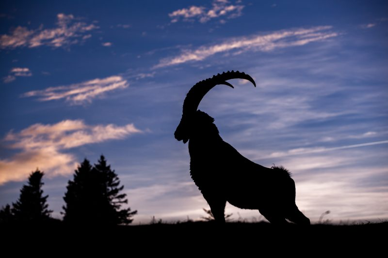Alpine Ibex male stretching at twilight (Switzerland)