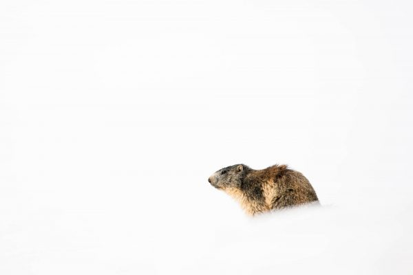 Alpine Marmot in snow (Vanoise, Alps, France)