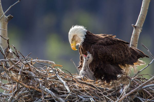 Bald Eagle and Eaglet in nest (Yukon, Canada)