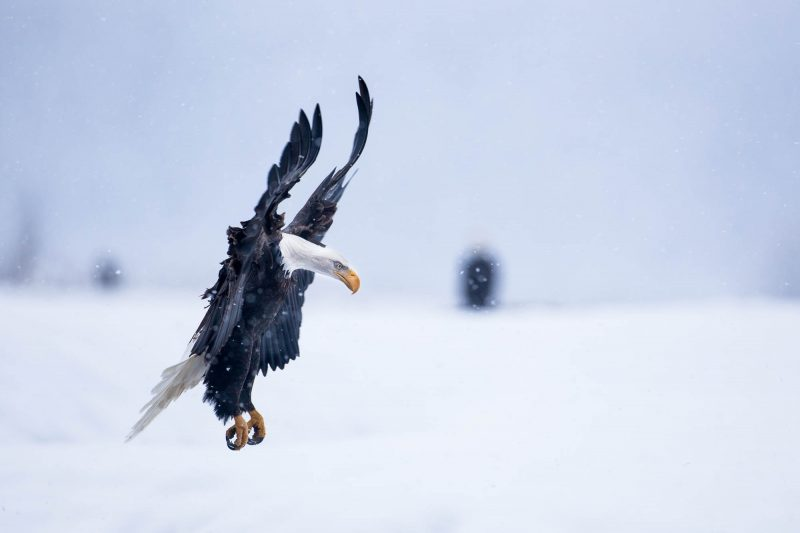 Bald Eagle Landing in Snow (Alaska)