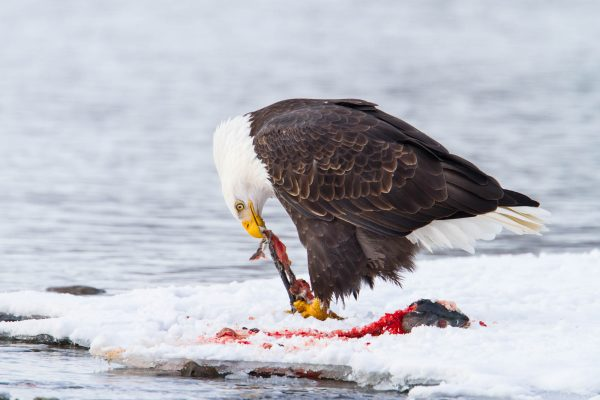 Bald Eagle feasting on salmon (Alaska)