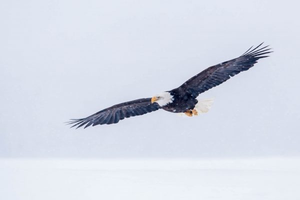 Bald Eagle flying in snowstorm (Alaska)