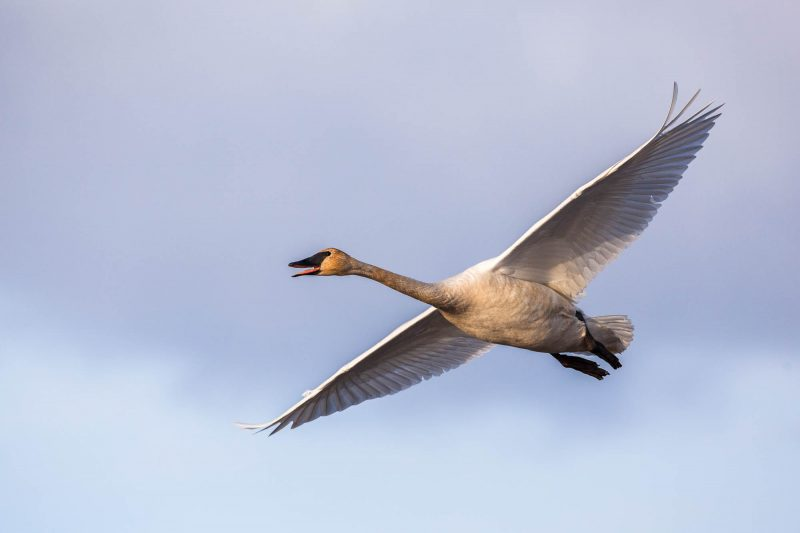 Flying Trumpeter Swan (Yukon)