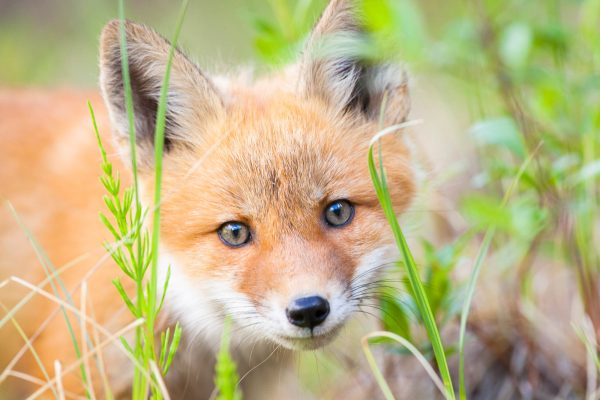 Red Fox kit (Yukon Territory, Canada)
