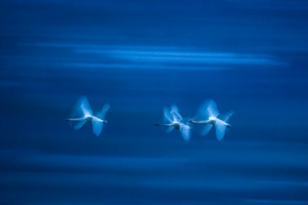 Flying Trumpeter Swans (Yukon Territory, Canada)