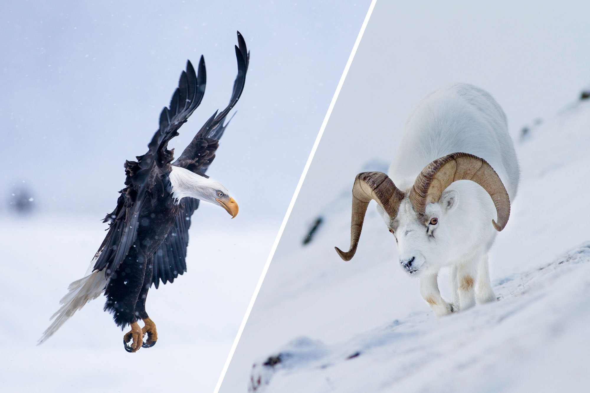 Dall Sheep & Bald Eagles Photo Tour