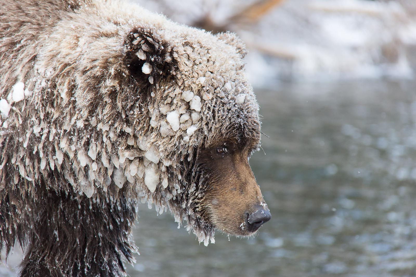 Ice Grizzly (Bear Cave Mountain, Yukon)