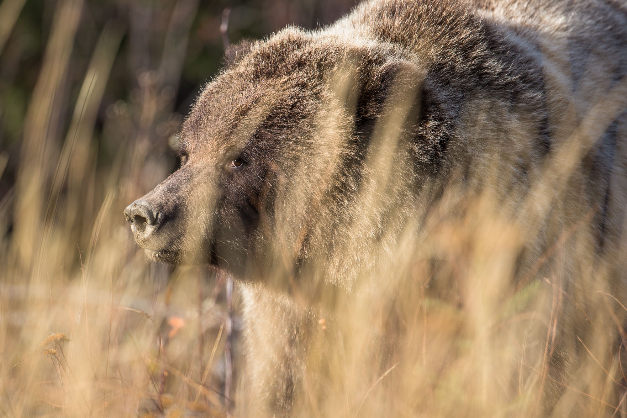 Grizzly Bear (Yukon)