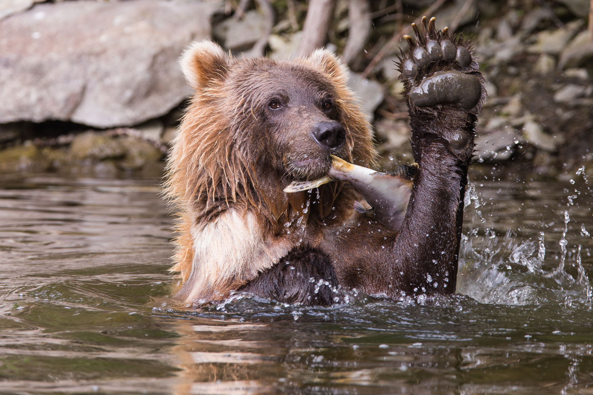 Grizzly Bear (Northern British Columbia)
